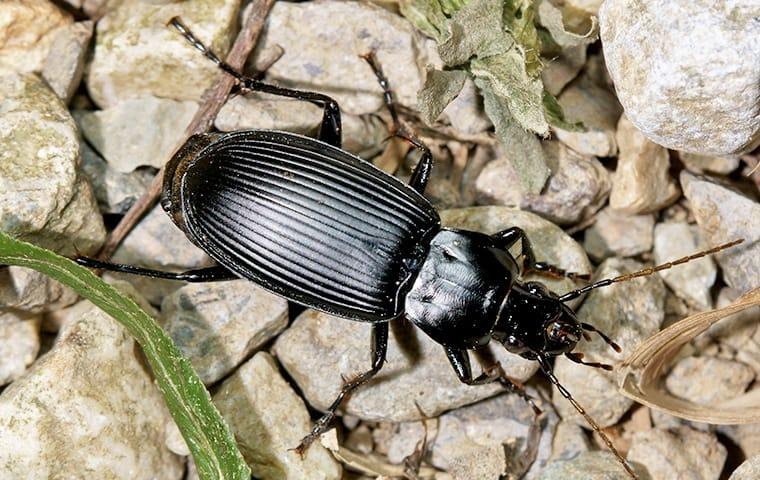 ground beetle on a rock