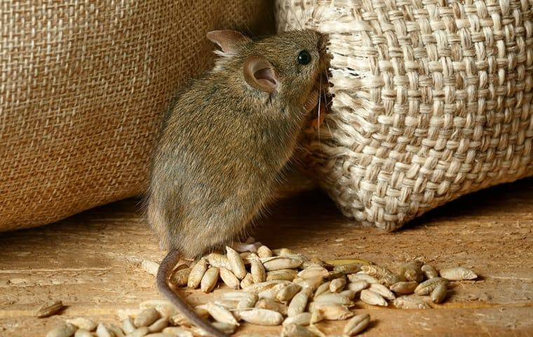 a house mouse inside of a missouri commercial facility