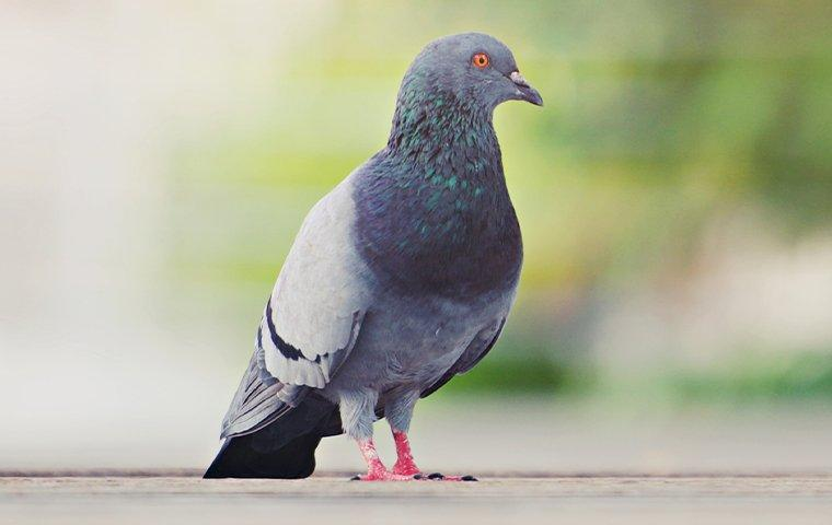 a pigeon standing on pavement