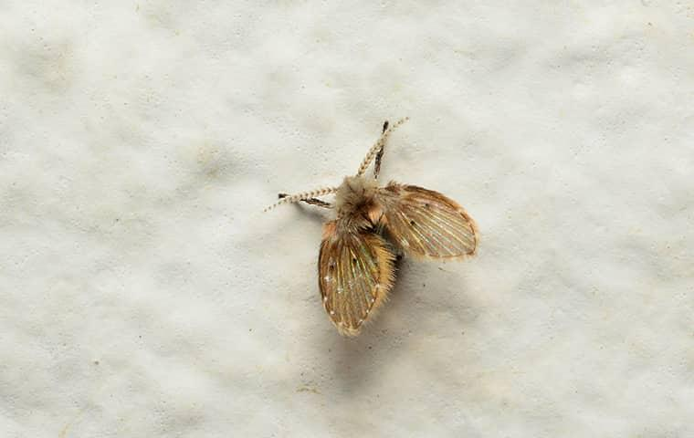 a drain fly at a home in wichita kansas