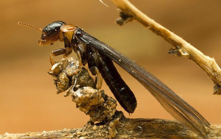 termite swarmer on wood