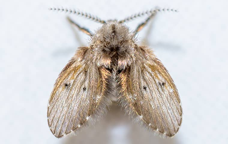 a drain fly seen from above in wichita kansas
