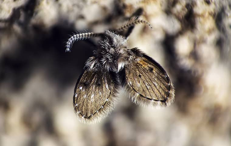 a drain fly on a property in topeka kansas