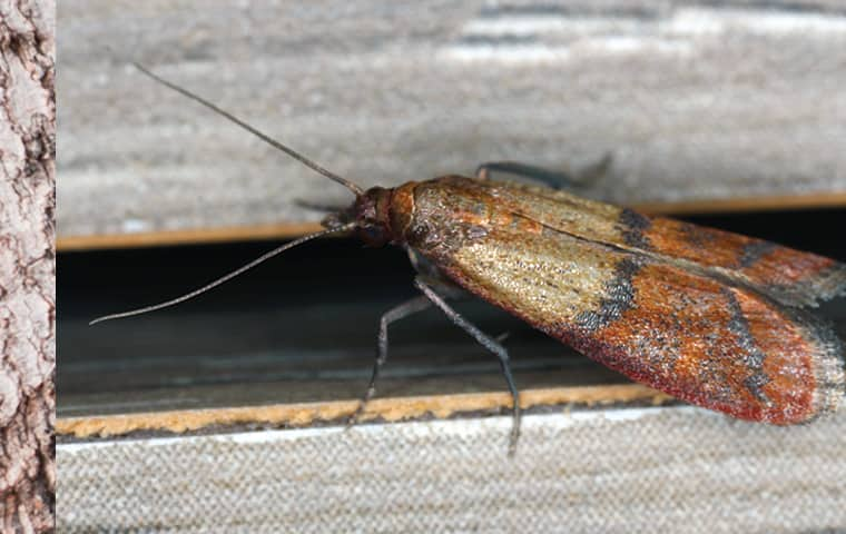 an indian meal moth on a vent in kansas city missouri