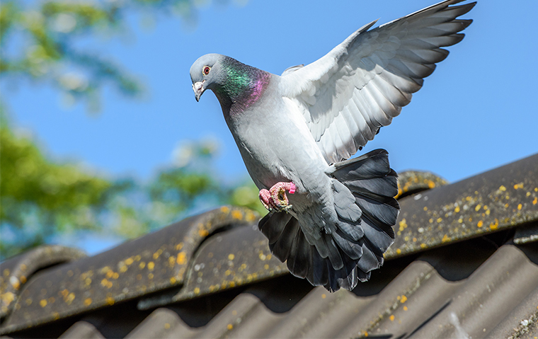 a pigeon on a rooftop in topeka kansas