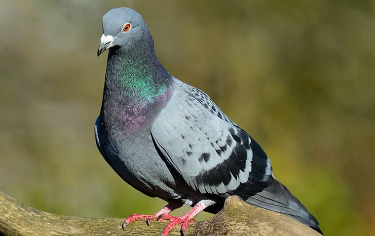 adult pigeon resting on a log outside a business in topeka kansas