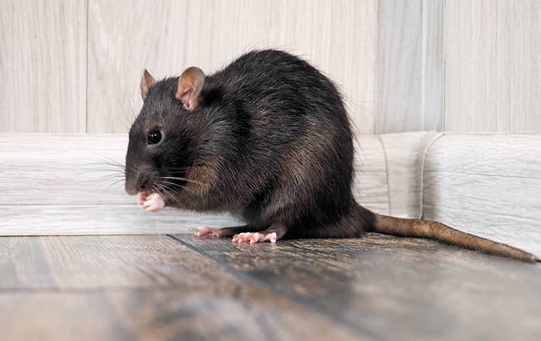 a large rat in a living room in garden city kansas