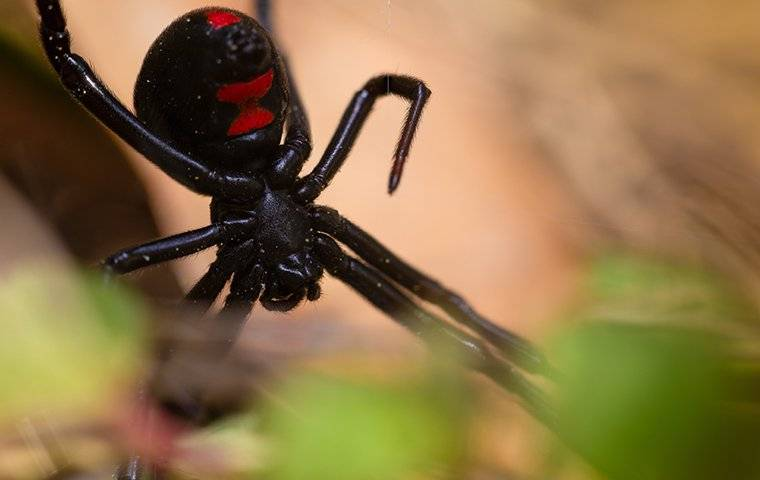 a black widow spider on a web near leaves