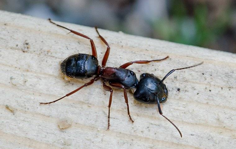 carpenter ant crawling on a wooden deck