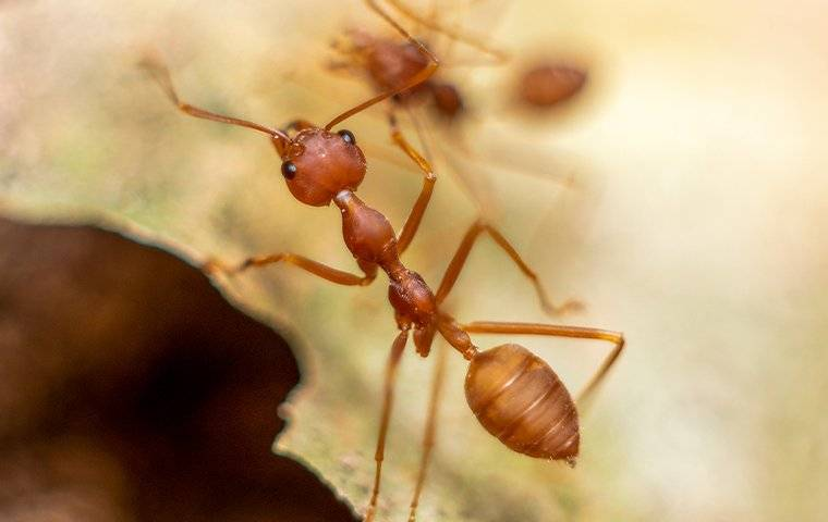 a fire ant crawling in a yard