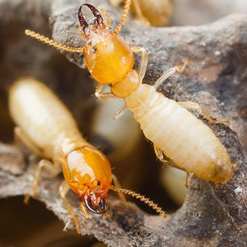 termites in mound in tarrant county texas