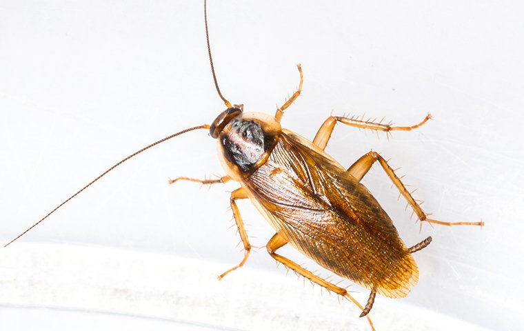 a german cockroach in tarrant county texas