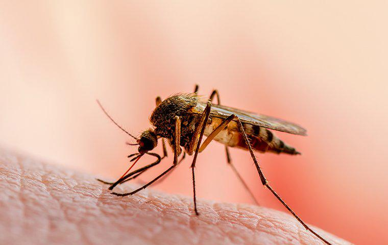 a mosquito on skin in tarrant county texas