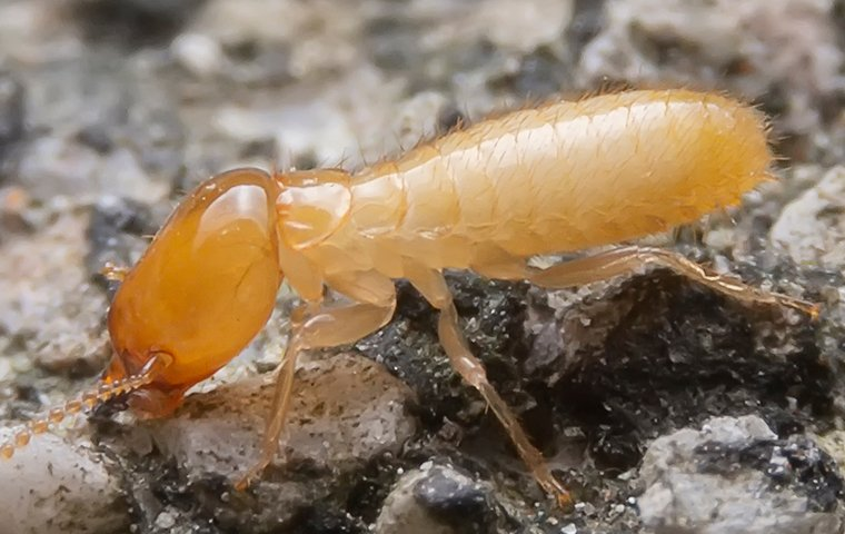 close up of  a termite in tarrant county texas