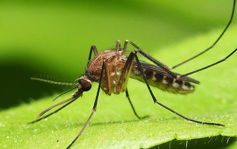 a mosquito on a leaf in tarrant county texas