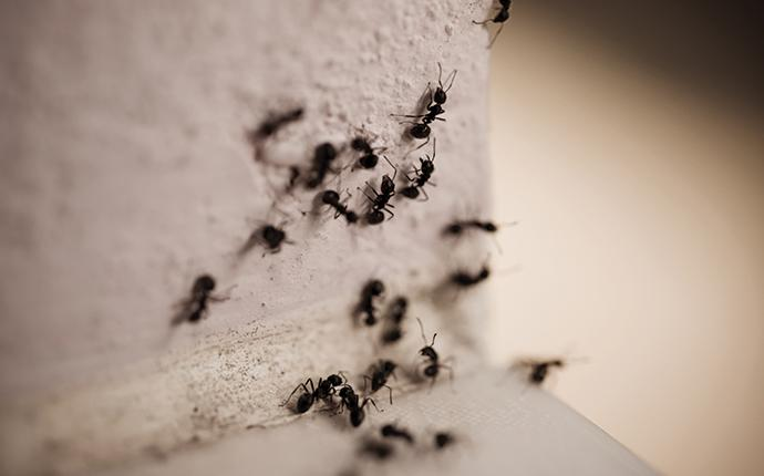 carpenter ants crawling on the corner of a counter