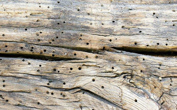 perderpost beetle damageon a wooden structure