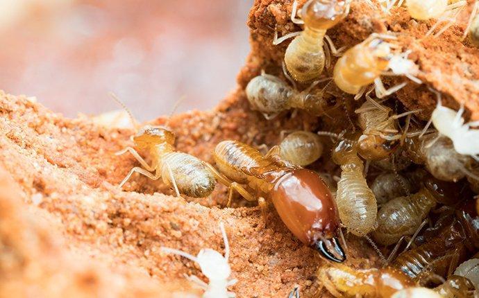 termite crawling on chewed wood