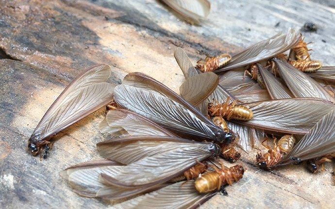termite swarmers dead on the ground