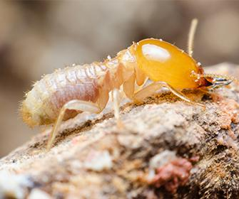a termite crawling on wood