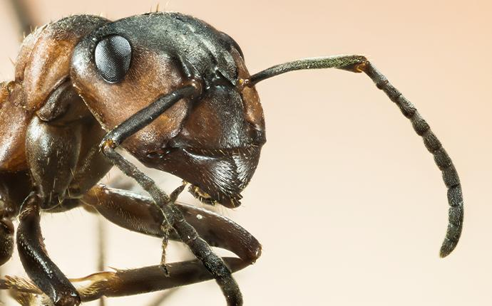 a close up of a black ant in baton rouge