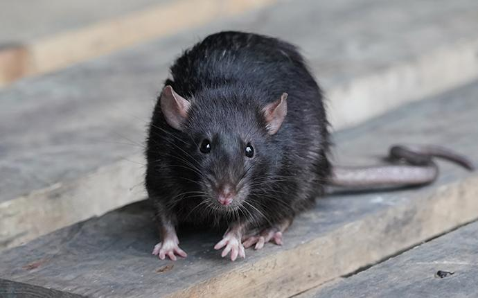 a black rat on a wooden table