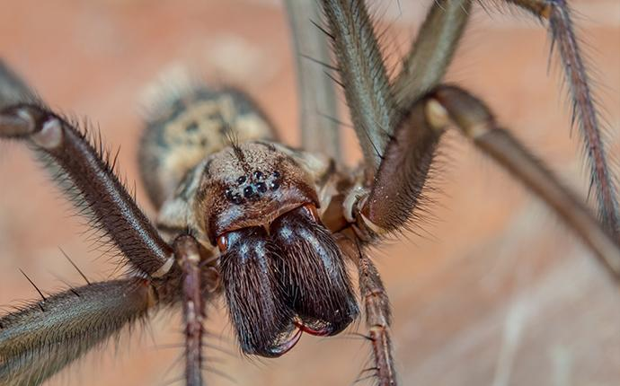 a brown spider in baton rouge
