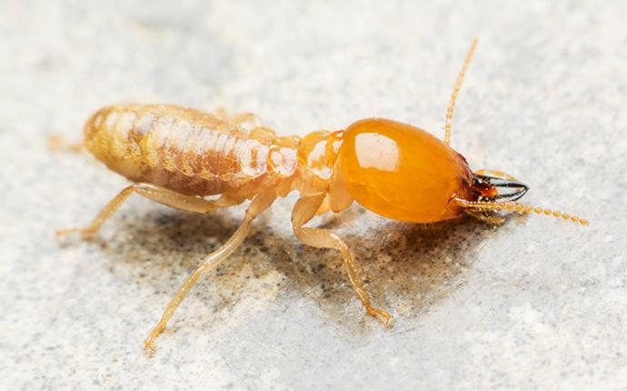 a termite sitting on marble in baton rouge