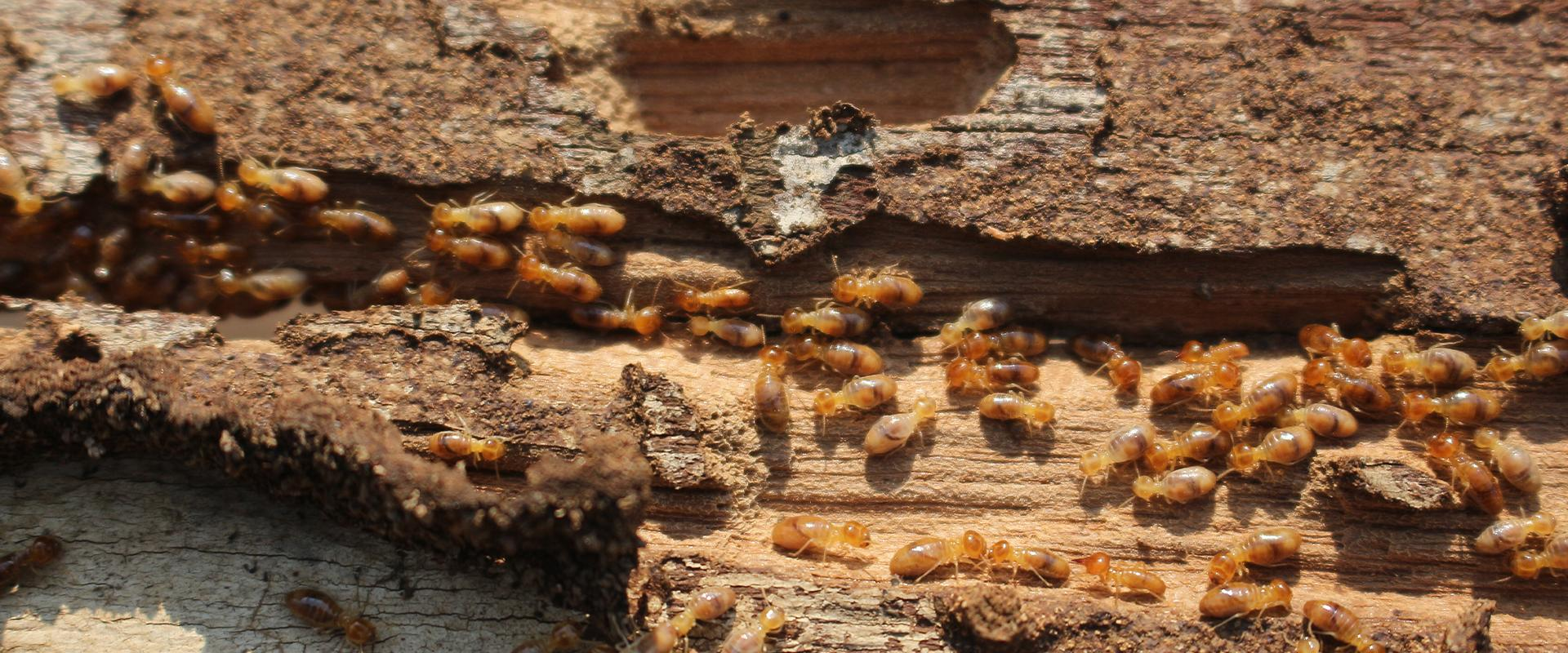 termites in the wood