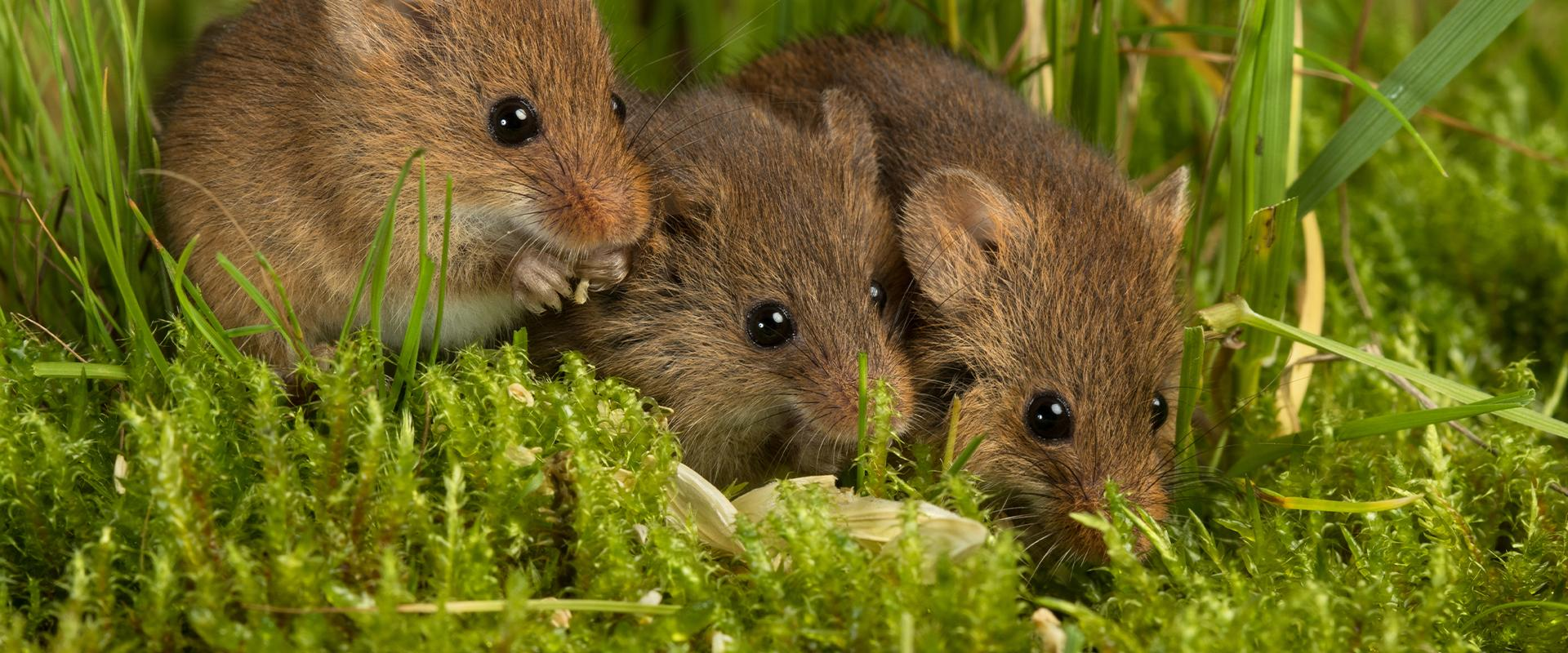 three mice in the grass