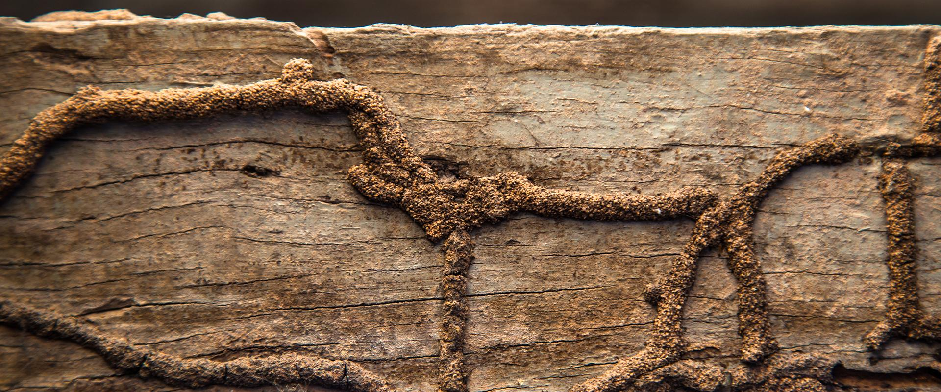 lines of termite tunnels on wood
