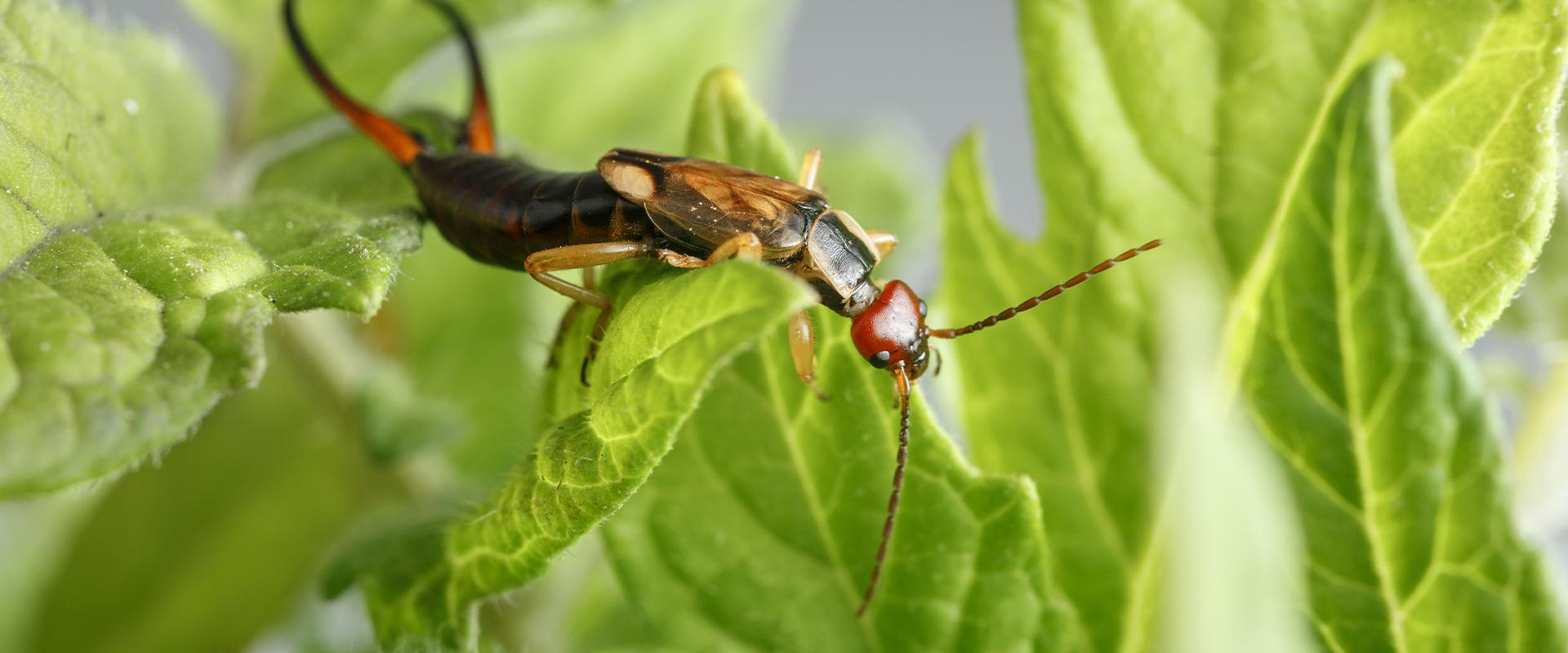 a earwig in the leaves