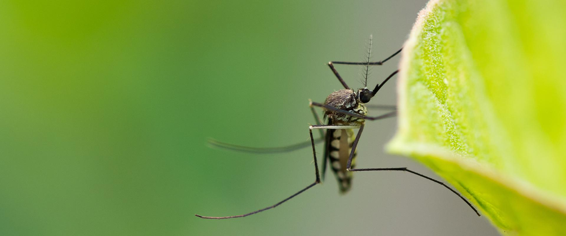 a mosquito on a green leaf