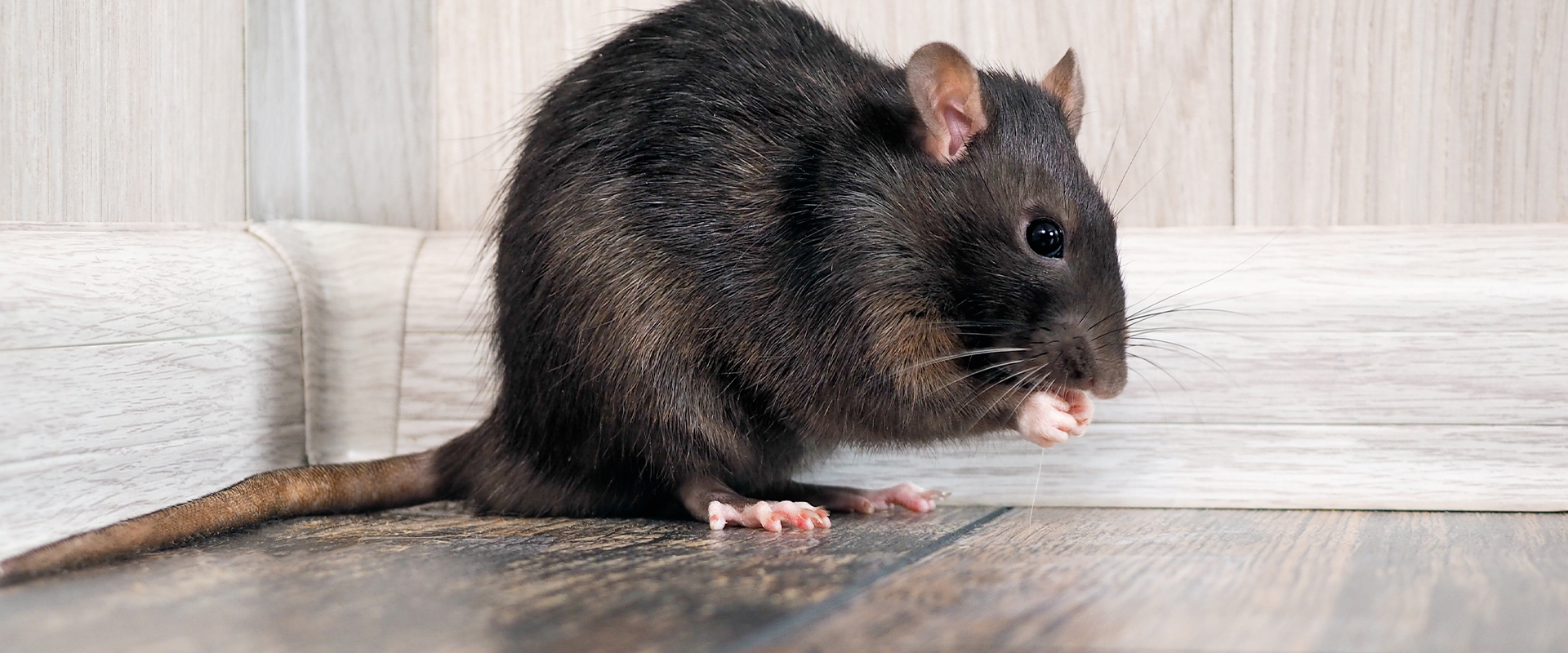 a black rat on the floor in a house