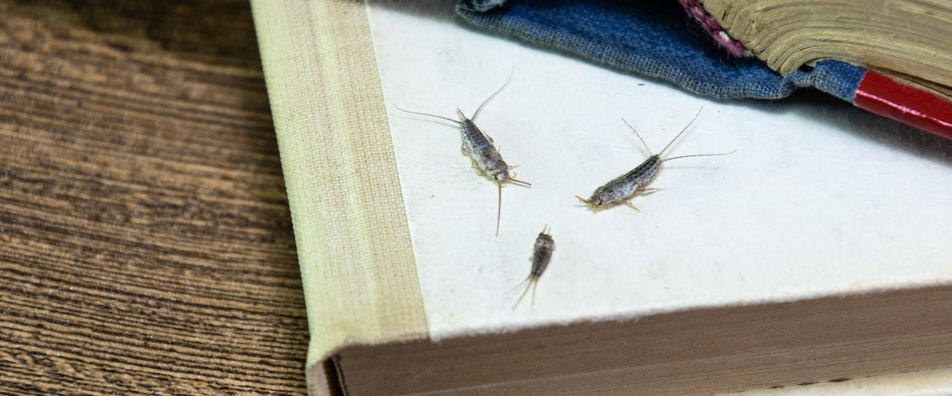 three silverfish in a book