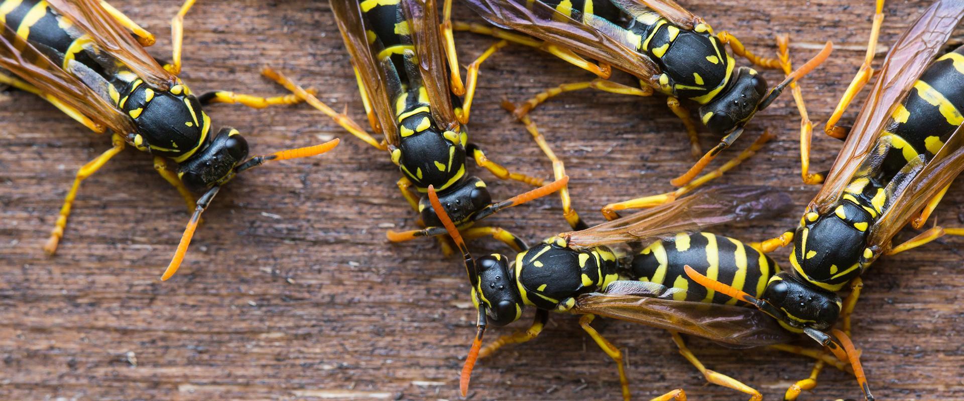 wasp gathered on wood