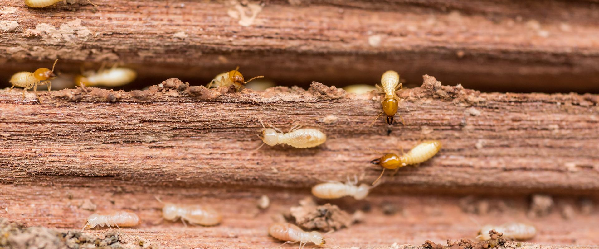 termites in a wood plank