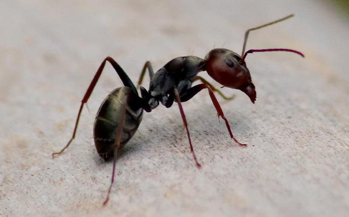 a carpenter ant on the gravel in baton rouge