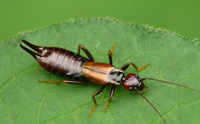 an earwig on a green leaf