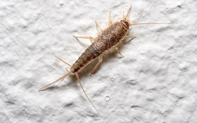 a silverfish on drywall in baton rouge