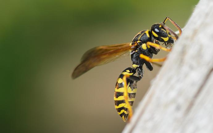 a wasp on wood in baton rouge