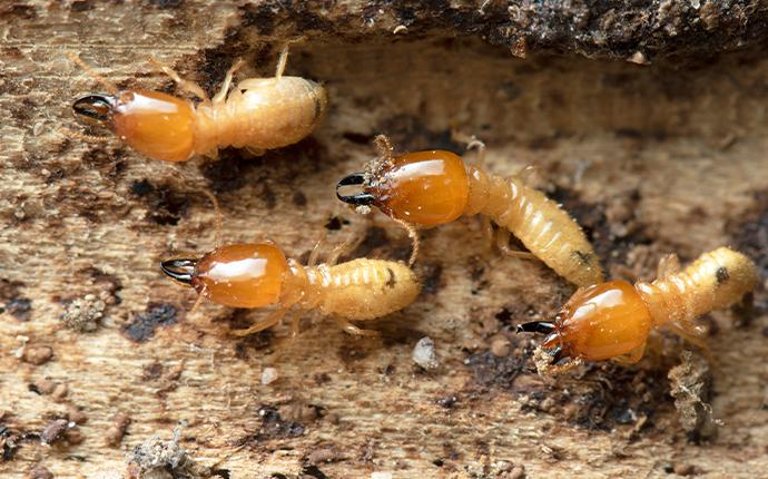 termite on their mound in baton rouge