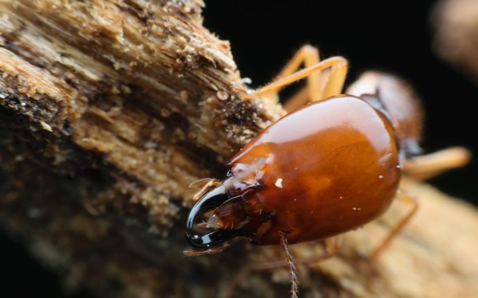 a termite crawling on wood in baton rouge