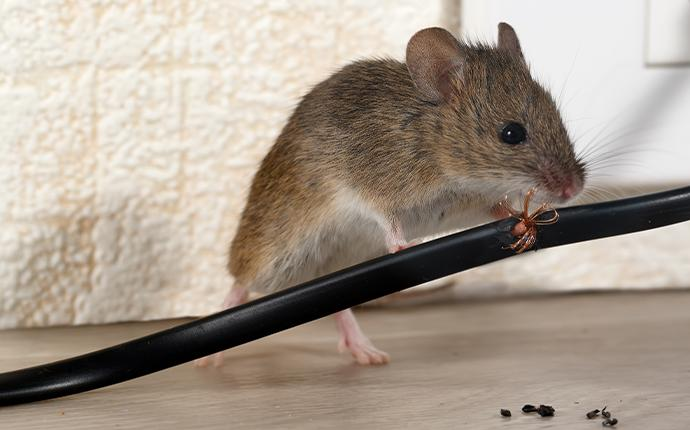 a mouse chewing on a cord