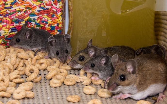 mice eating cereal in a cabinet