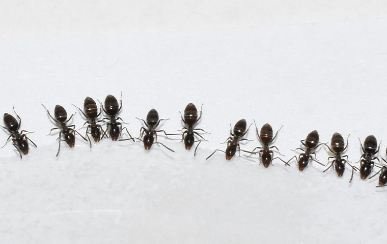 ants in a row
