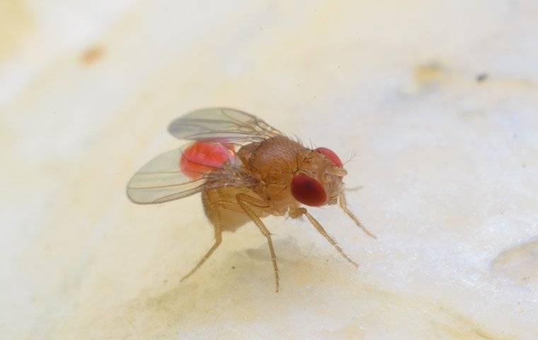 fruit fly up close