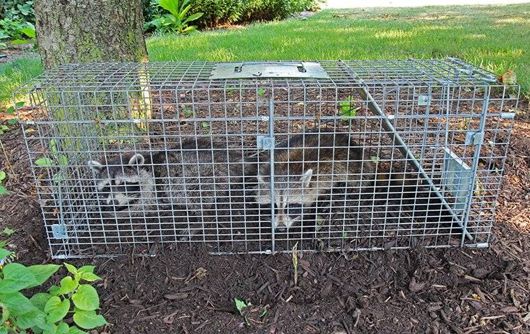 raccoons in a live trap