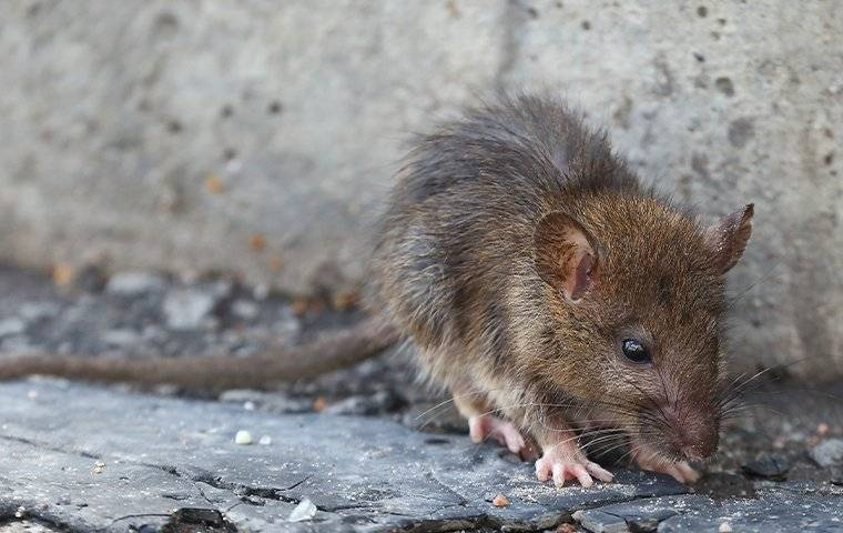 brown rat outside