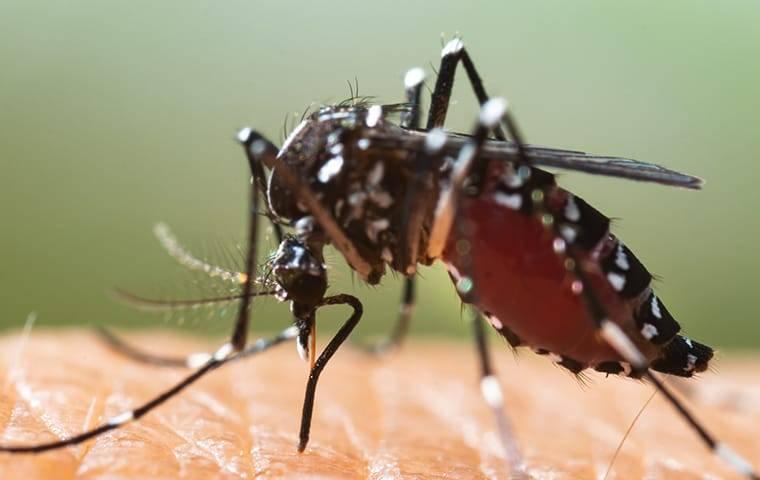 mosquito on skin biting